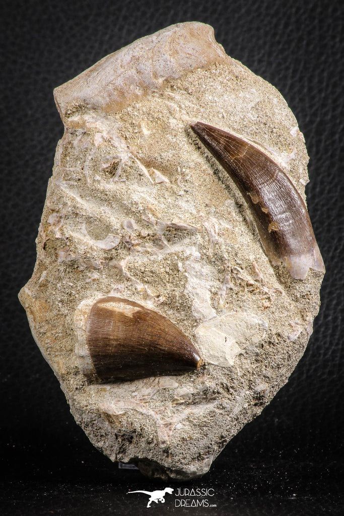 07595 - Insane Association Prognathodon anceps (Mosasaur) Tooth + Zarafasaura oceanis (Elasmosaur) Tooth