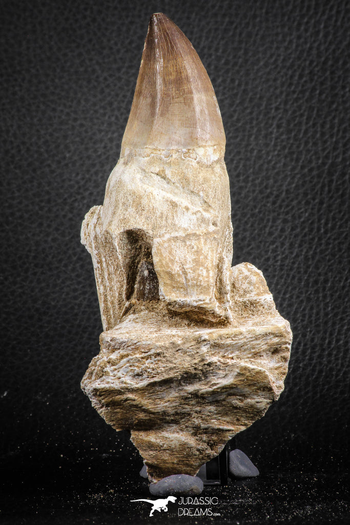 07598 - Top 4.87 Inch Mosasaur (Prognathodon anceps) Rooted Tooth ( & Preserved Replacement Emerging Germ Tooth)