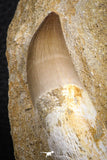 07599 - Top Huge Rooted 3.41 Inch Mosasaur (Prognathodon anceps) Tooth in Matrix