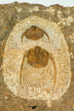 30666 - Top Beautiful Association of 2 Onnia sp Ordovician Trilobites