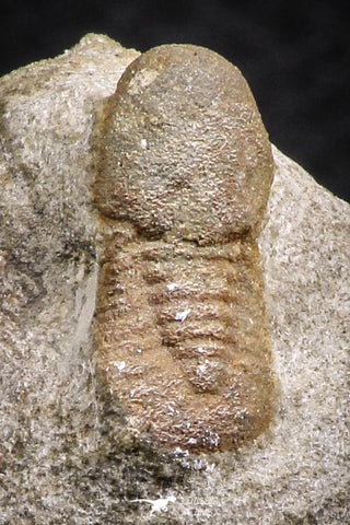 07707 - Beautiful 0.68 Inch Cyclopyge sibilla Upper Ordovician Trilobite