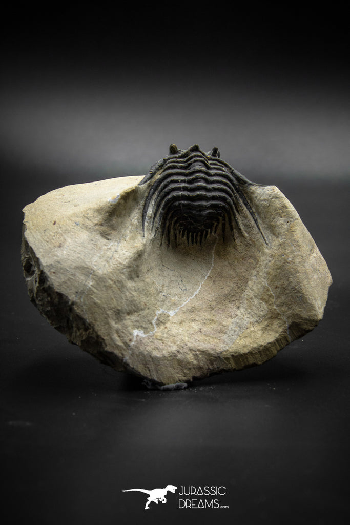 030003 - Well Prepared 1.44'' Leonaspis Devonian Trilobite