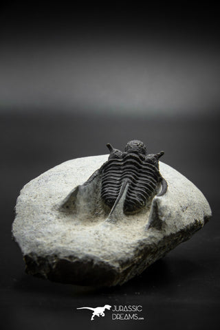 030002 - Well Prepared 1.30'' Cyphaspis Devonian Trilobite