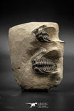 030005 - Superb Natural Association 2 Leonaspis Devonian Trilobites