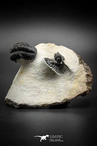 030008 - Superb Natural Association Acanthopyge (Lobopyge) bassei + Phacops sp Devonian Trilobites