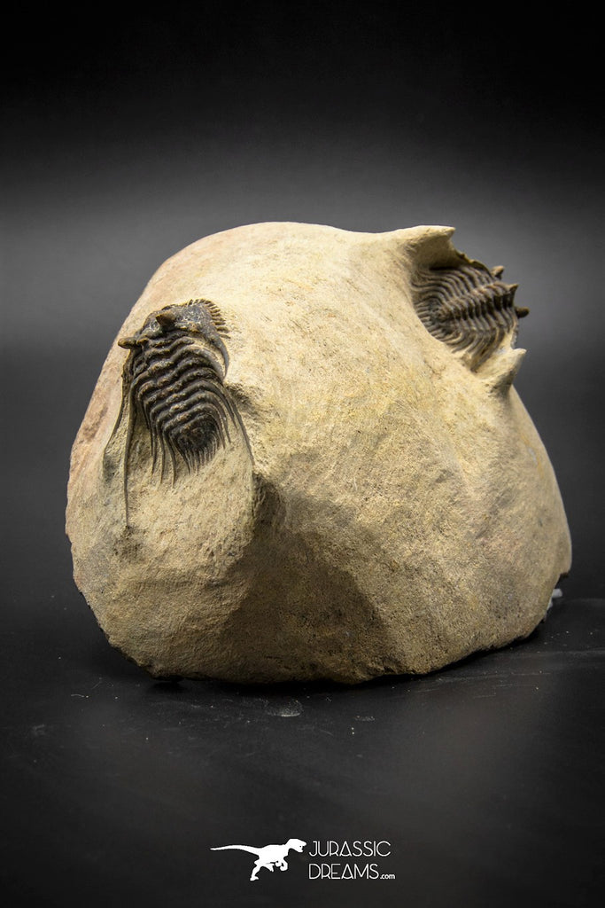 030007 - Superb Natural Association 2 Leonaspis Devonian Trilobites