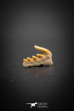 03133 - Beautiful Well Preserved 0.51 Inch Weltonia ancistrodon Shark Tooth