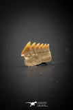 03147 - Beautiful Well Preserved 0.44 Inch Hexanchus microdon Shark Tooth