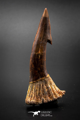 03156 - Top Quality 2.91 Inch Onchopristis Cretaceous Giant Sawfish Rostral Barb