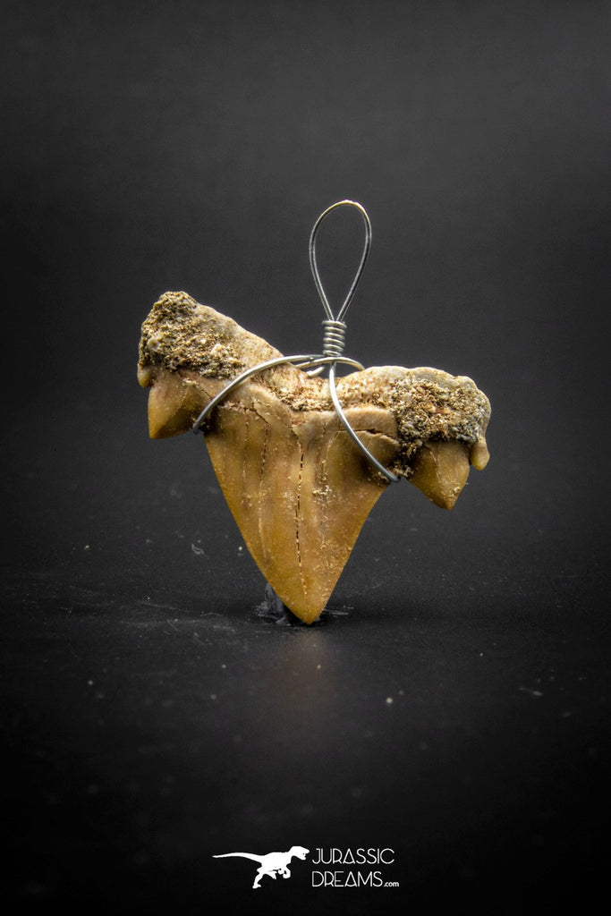 03184 - Premium Quality 0.98 Inch Cretolamna maroccana (mackerel shark) Tooth Necklace Pendant