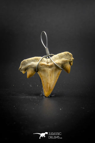 03185 - Premium Quality 0.94 Inch Cretolamna maroccana (mackerel shark) Tooth Necklace Pendant