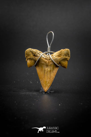03186 - Premium Quality 0.90 Inch Cretolamna maroccana (mackerel shark) Tooth Necklace Pendant