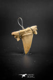 03187 - Premium Quality 1.02 Inch Cretolamna maroccana (mackerel shark) Tooth Necklace Pendant