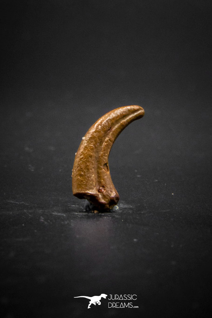 03229 - Top Rare 0.66 Inch Upper Cretaceous Pterosaur Claw Finest Quality