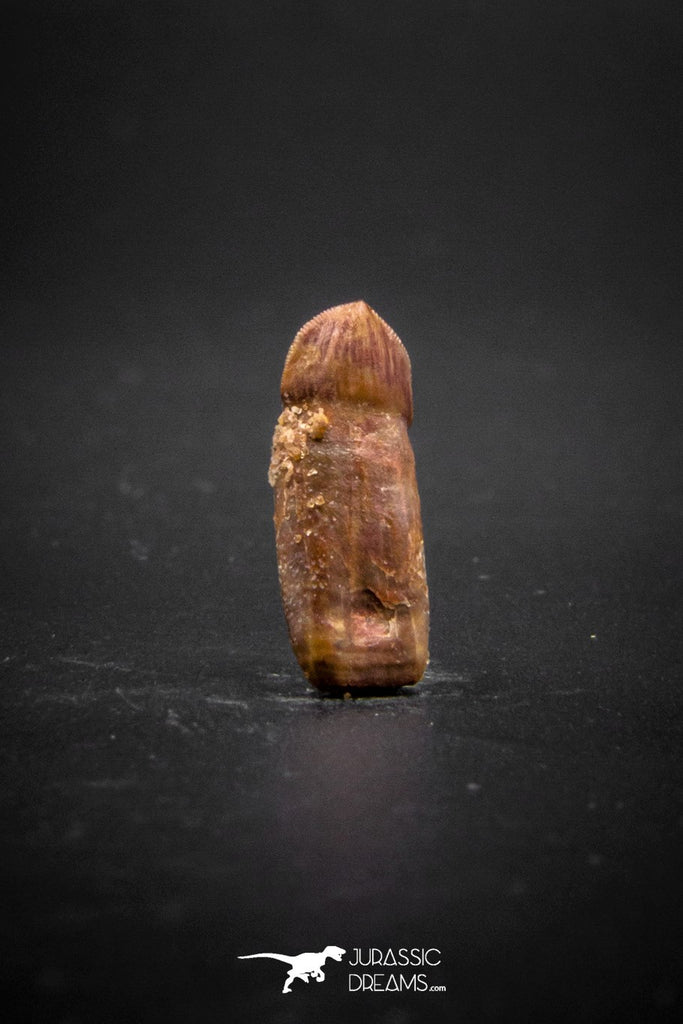 03231 - Very Rare Rooted 0.66 Inch Hamadasuchus Rebouli Crocodile Tooth From Kem Kem