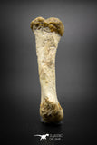 03293 - Rare Unpublished 2.67 Inch Theropod Dinosaur Metatarsal Toe Bone