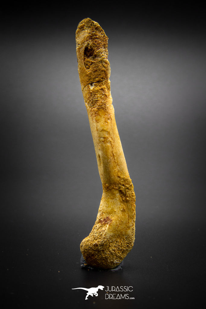 03294 - Rare Unpublished 3.49 Inch Theropod Dinosaur Metacarpal Bone KemKem Beds