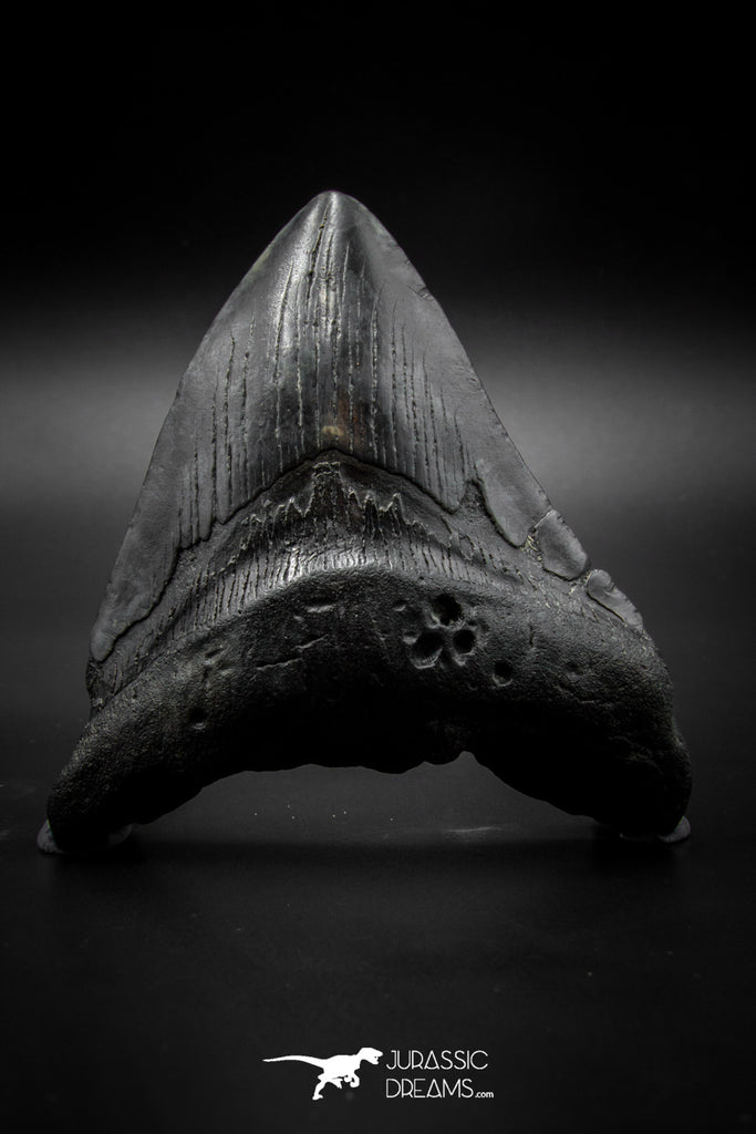 040001 - Finest Quality 3.90 Inch Huge Megalodon Shark Tooth