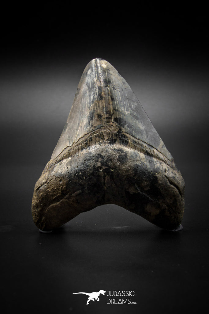 040002 - Finest Quality 3.13 Inch Huge Megalodon Shark Tooth