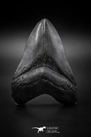 040003 - Finest Quality 3.77 Inch Huge Megalodon Shark Tooth