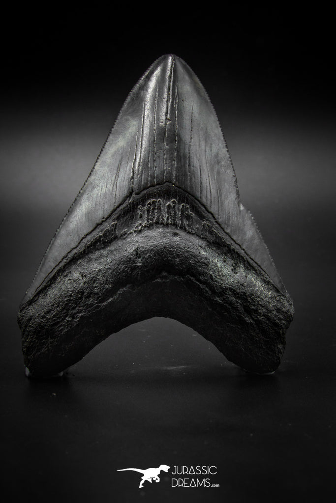 040004 - Finest Quality 3.92 Inch Huge Megalodon Shark Tooth
