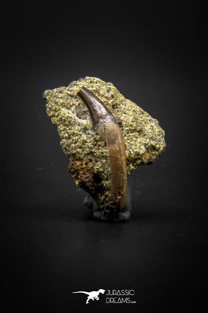 04086 - Top Rare 1.04 Inch Didelphodon Rooted Skull Tooth Dinosaur Age Mammal Hell Creek Fm