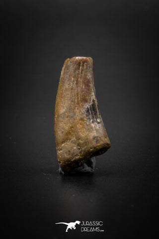 04095 - Nicely Preserved 1.15'' Nanotyrannus lancensis Dinosaur Tooth Hell Creek Fm