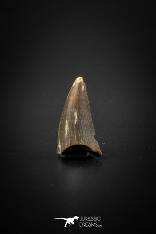 04099 - Nicely Preserved 0.68'' Nanotyrannus lancensis Dinosaur Tooth Hell Creek Fm