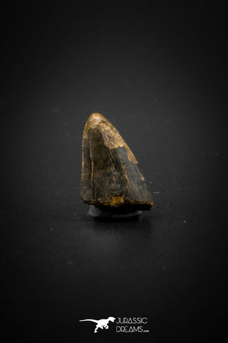 04100 - Nicely Preserved 0.50'' Nanotyrannus lancensis Dinosaur Tooth Hell Creek Fm