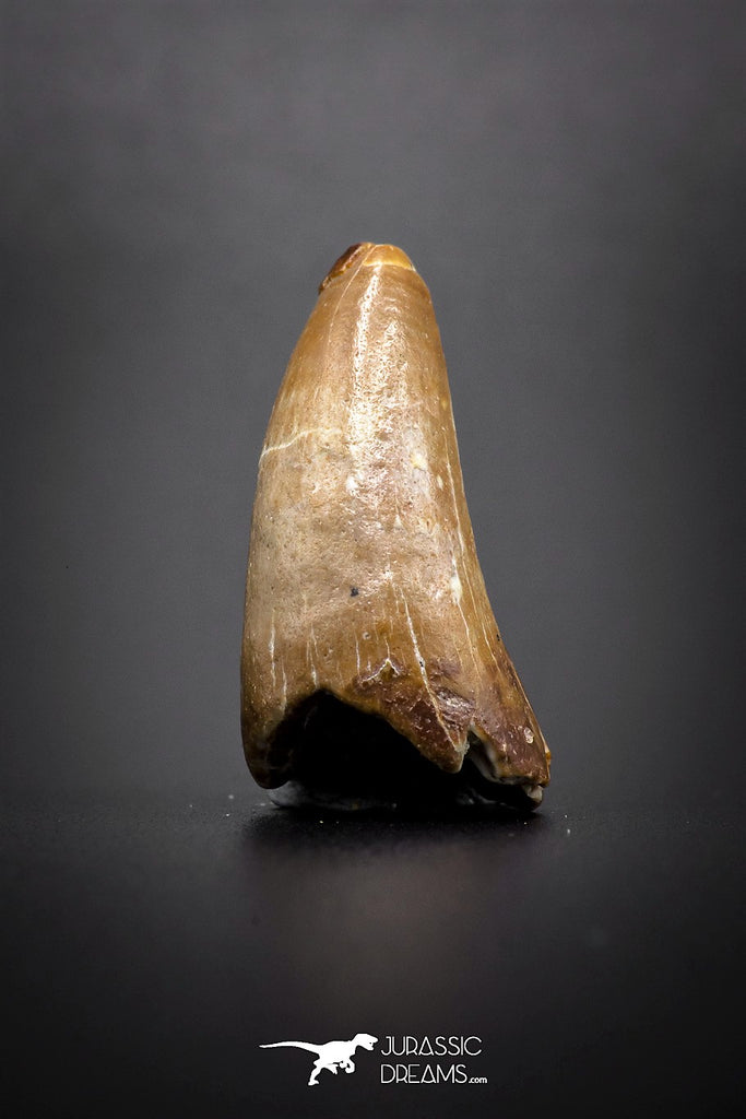 04142 - Well Preserved 1.06 Inch Elosuchus Cherifiensis Crocodile Tooth From Kem Kem