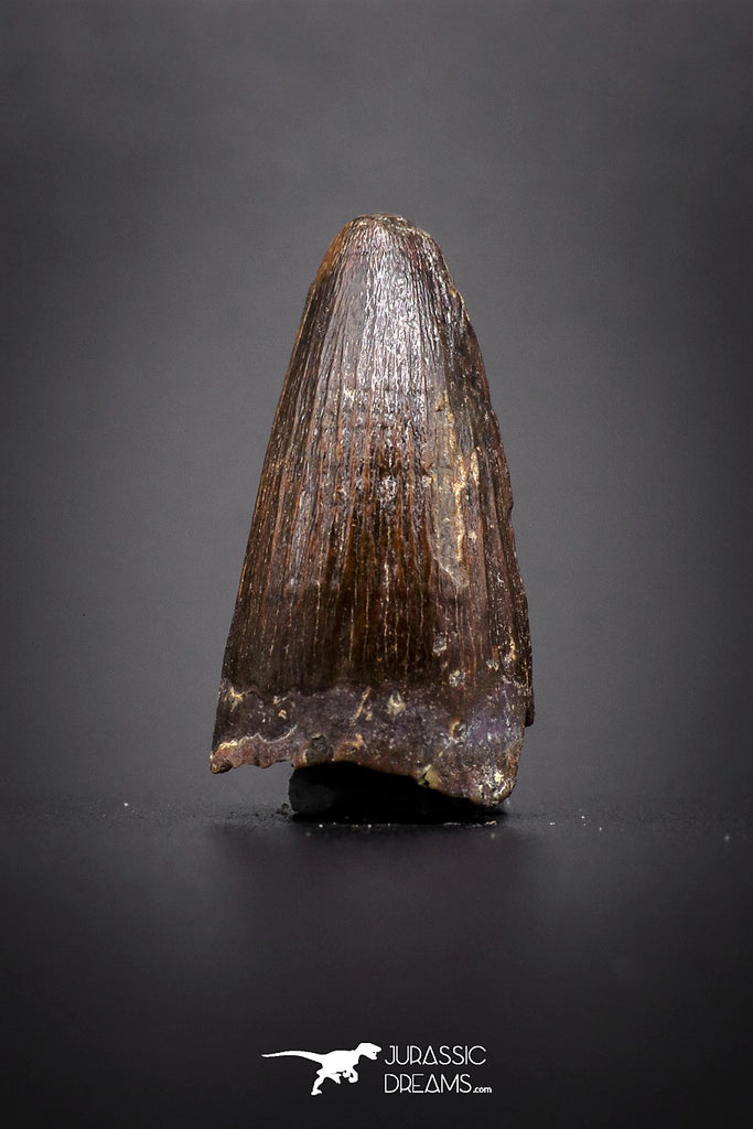04144 - Well Preserved 0.90 Inch Elosuchus Cherifiensis Crocodile Tooth From Kem Kem