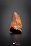04146 - Well Preserved 0.74 Inch Elosuchus Cherifiensis Crocodile Tooth From Kem Kem
