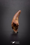 04151 - Beautiful 1.05 Inch Elosuchus Cherifiensis Crocodile Tooth From Kem Kem