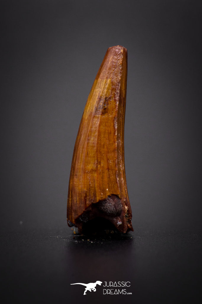 04152 - Beautiful 0.90 Inch Elosuchus Cherifiensis Crocodile Tooth From Kem Kem
