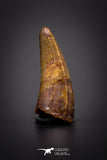 04161 - Beautiful 0.79 Inch Elosuchus Cherifiensis Crocodile Tooth From Kem Kem