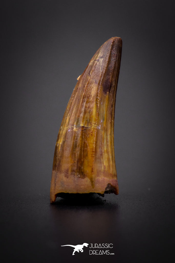 04165 - Beautiful 0.98 Inch Elosuchus Cherifiensis Crocodile Tooth From Kem Kem