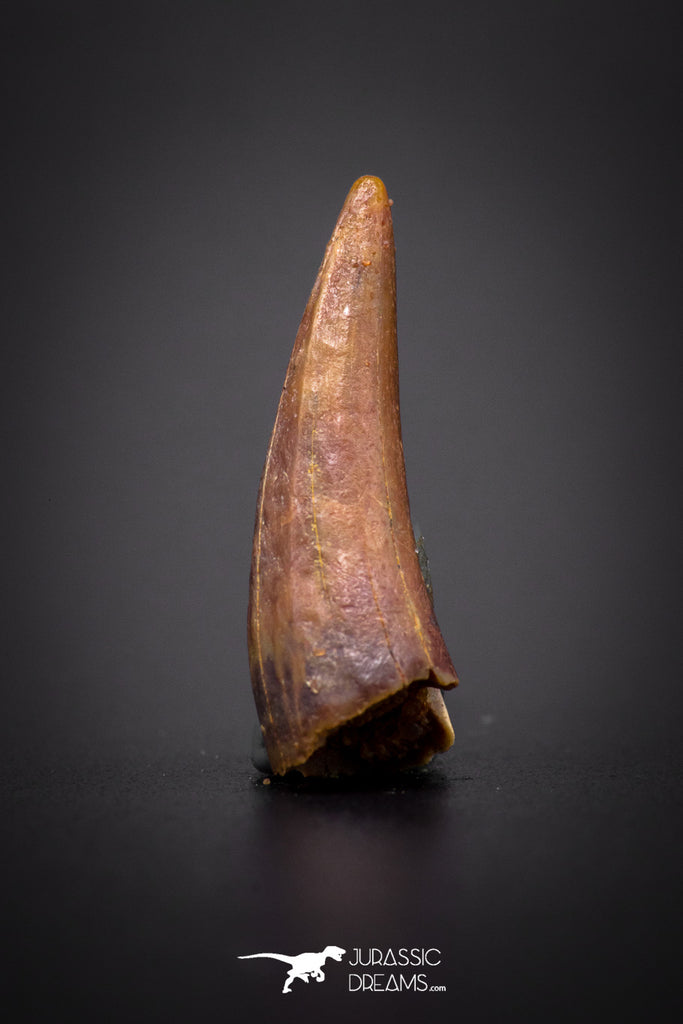 04166 - Beautiful 0.84 Inch Elosuchus Cherifiensis Crocodile Tooth From Kem Kem