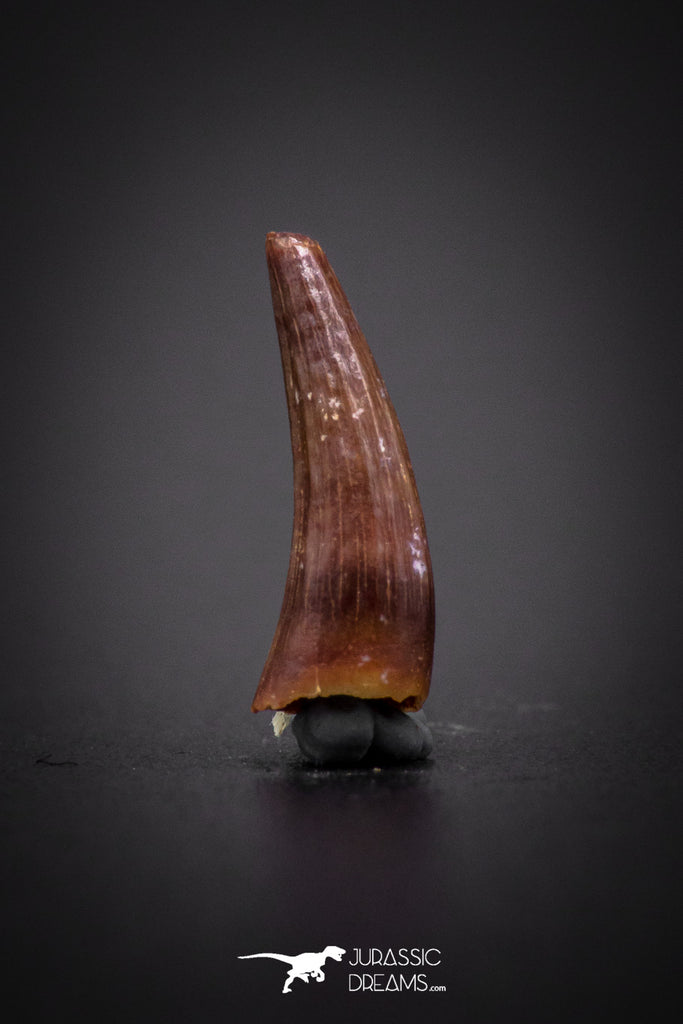 04174 - Beautiful 0.45 Inch Elosuchus Cherifiensis Crocodile Tooth From Kem Kem