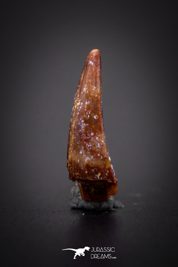 04176 - Beautiful 0.57 Inch Elosuchus Cherifiensis Crocodile Tooth From Kem Kem