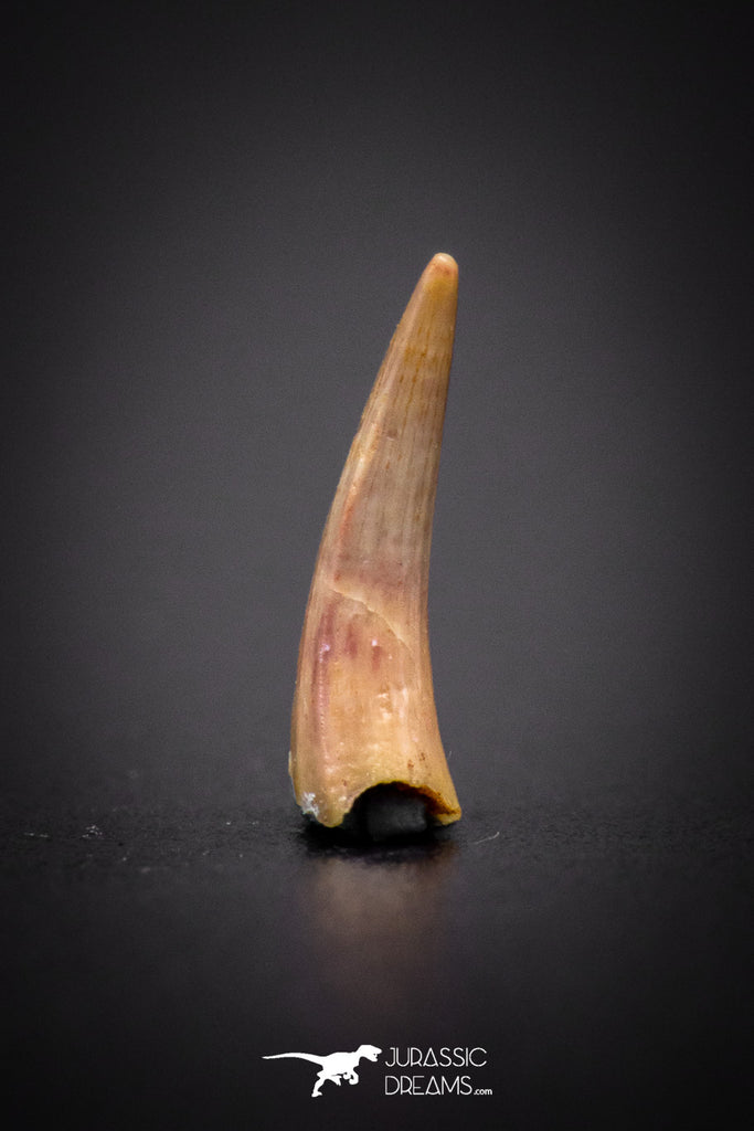 04177 - Beautiful 0.45 Inch Elosuchus Cherifiensis Crocodile Tooth From Kem Kem