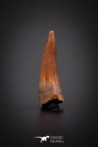 04178 - Beautiful 0.58 Inch Elosuchus Cherifiensis Crocodile Tooth From Kem Kem