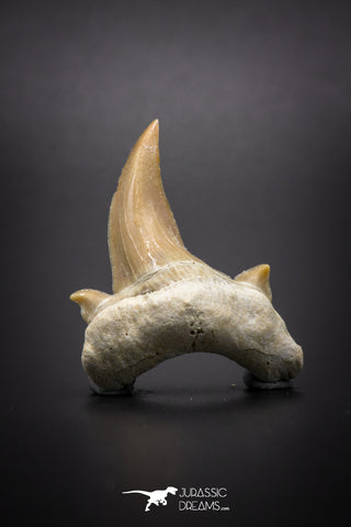 04200 - Super Rare Pathologically Deformed Double Tipped 1.31 Inch Otodus obliquus Shark Tooth
