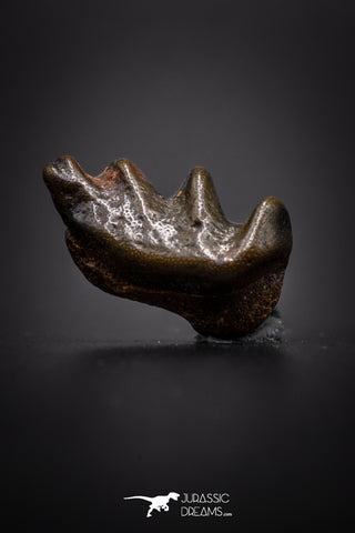 04220 - Rare Ceratodus humei Tooth From Kem Kem Basin