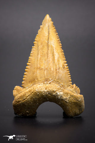 04352 - Strongly Serrated 1.98 Inch Palaeocarcharodon orientalis (Pygmy white Shark) Tooth