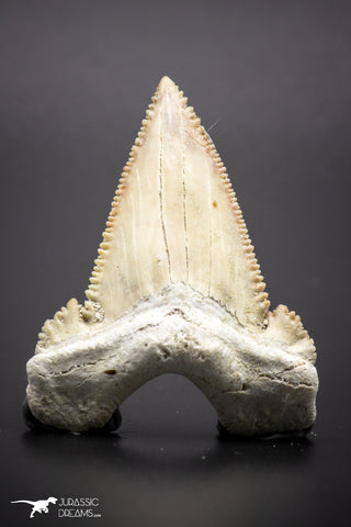 04353 - Strongly Serrated 1.75 Inch Palaeocarcharodon orientalis (Pygmy white Shark) Tooth