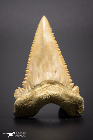04355 - Strongly Serrated 1.71 Inch Palaeocarcharodon orientalis (Pygmy white Shark) Tooth