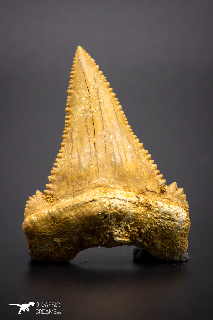 04356 - Strongly Serrated 1.64 Inch Palaeocarcharodon orientalis (Pygmy white Shark) Tooth
