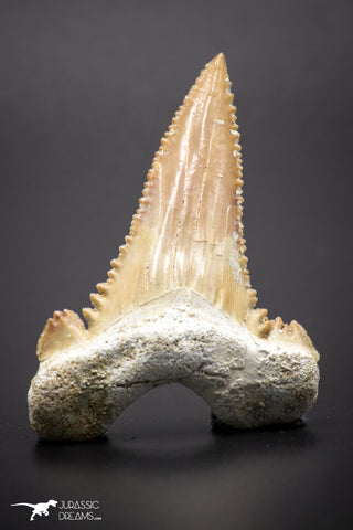 04357 - Strongly Serrated 1.87 Inch Palaeocarcharodon orientalis (Pygmy white Shark) Tooth