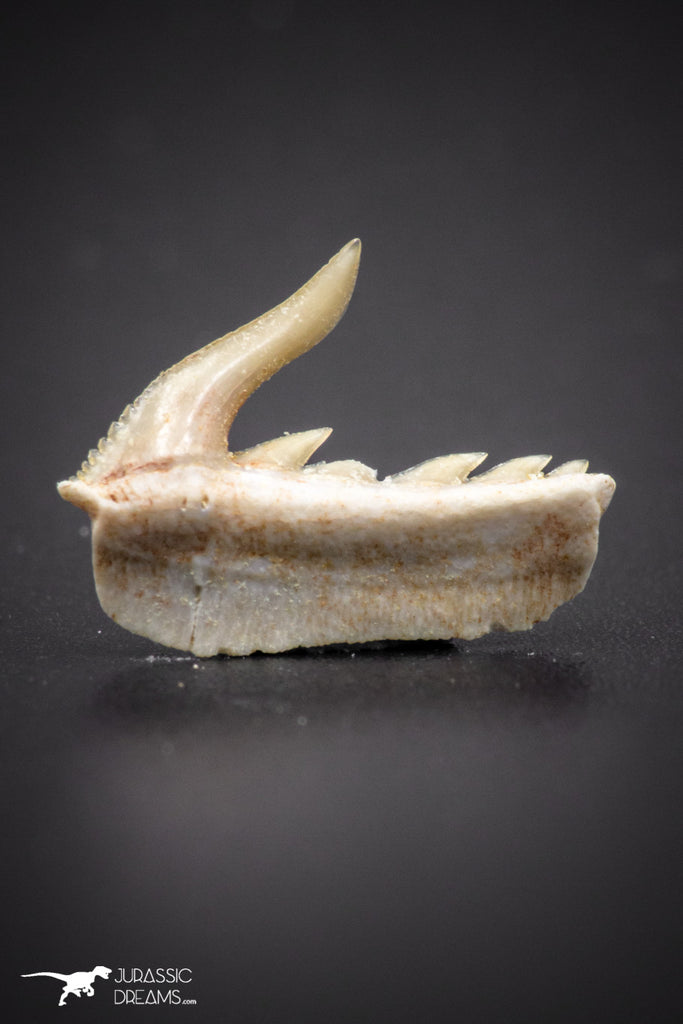04376 - Beautiful Well Preserved 0.53 Inch Weltonia ancistrodon Shark Tooth