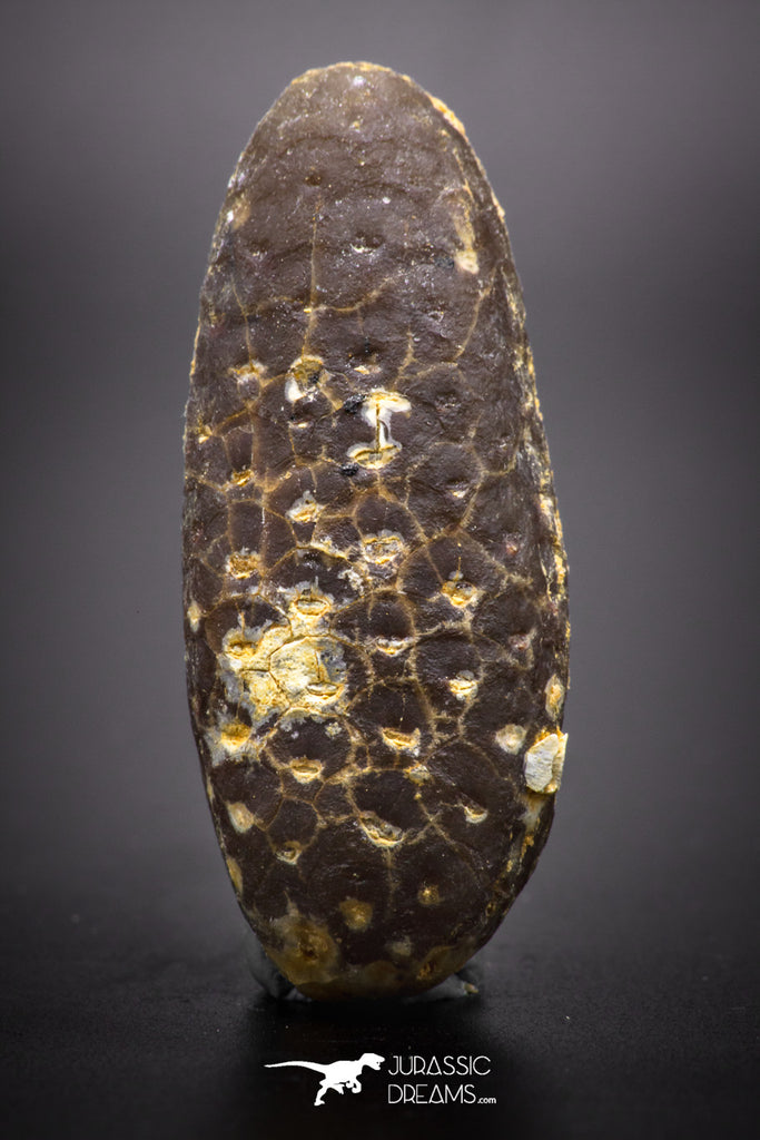 04467- Top Rare Fossilized Silicified Pine Cone EQUICALASTROBUS Eocene Sahara Desert